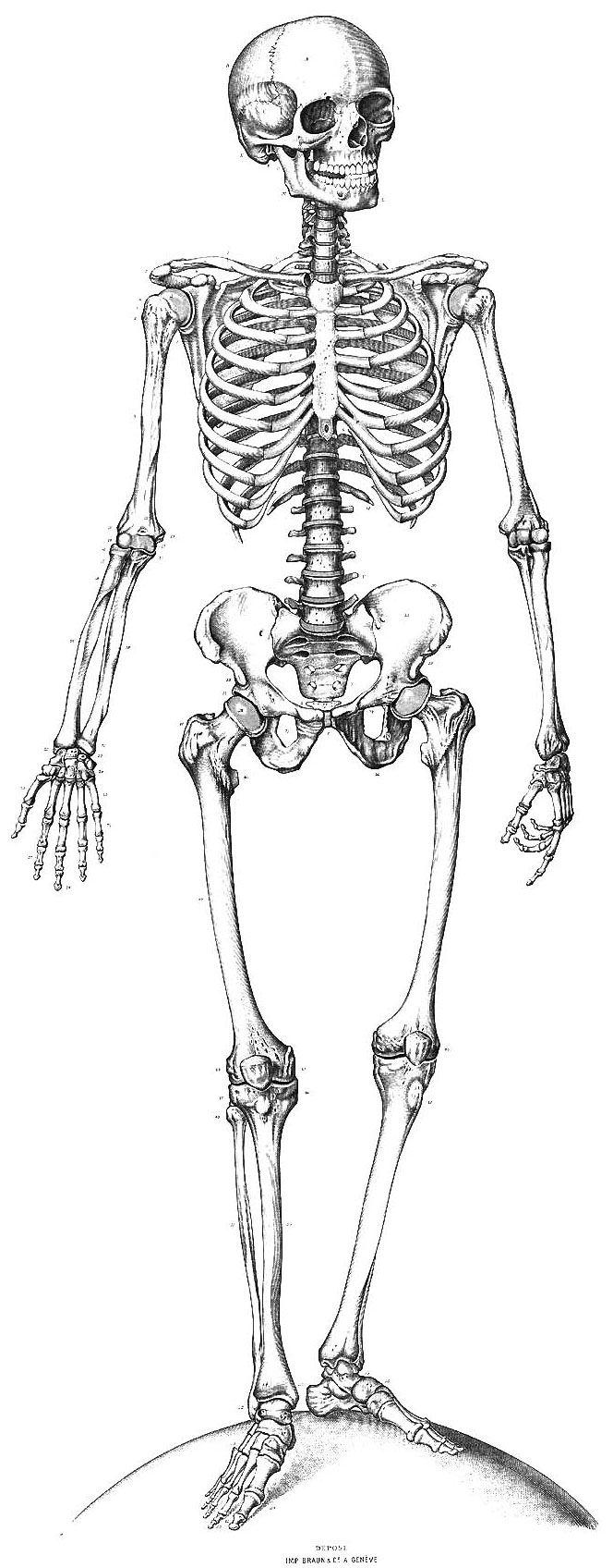 Inspiration Skeletal System Pinterest Skeletons