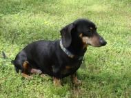 Dachshund Rescue Of North America Dachshund Rescue Dachshund Weiner Dog