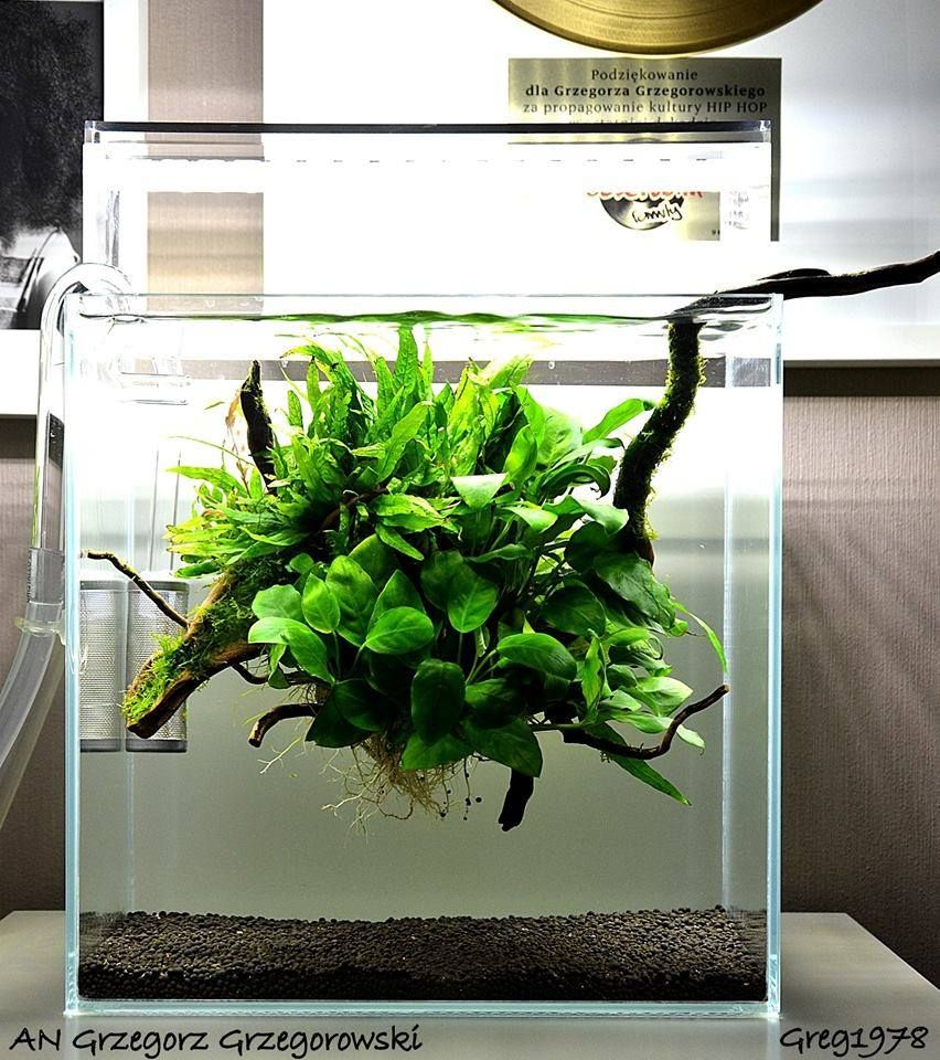 Favourites tank by grzegorz grzegorowsk a delicate for Floating plants for betta fish