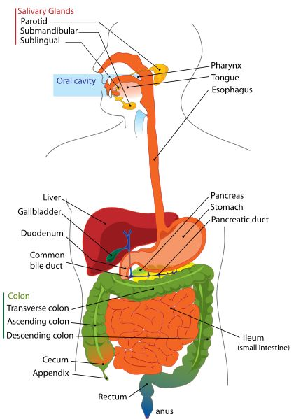label the eye diagram answers 8086 pin with explanation answer key digestive system health pinterest human