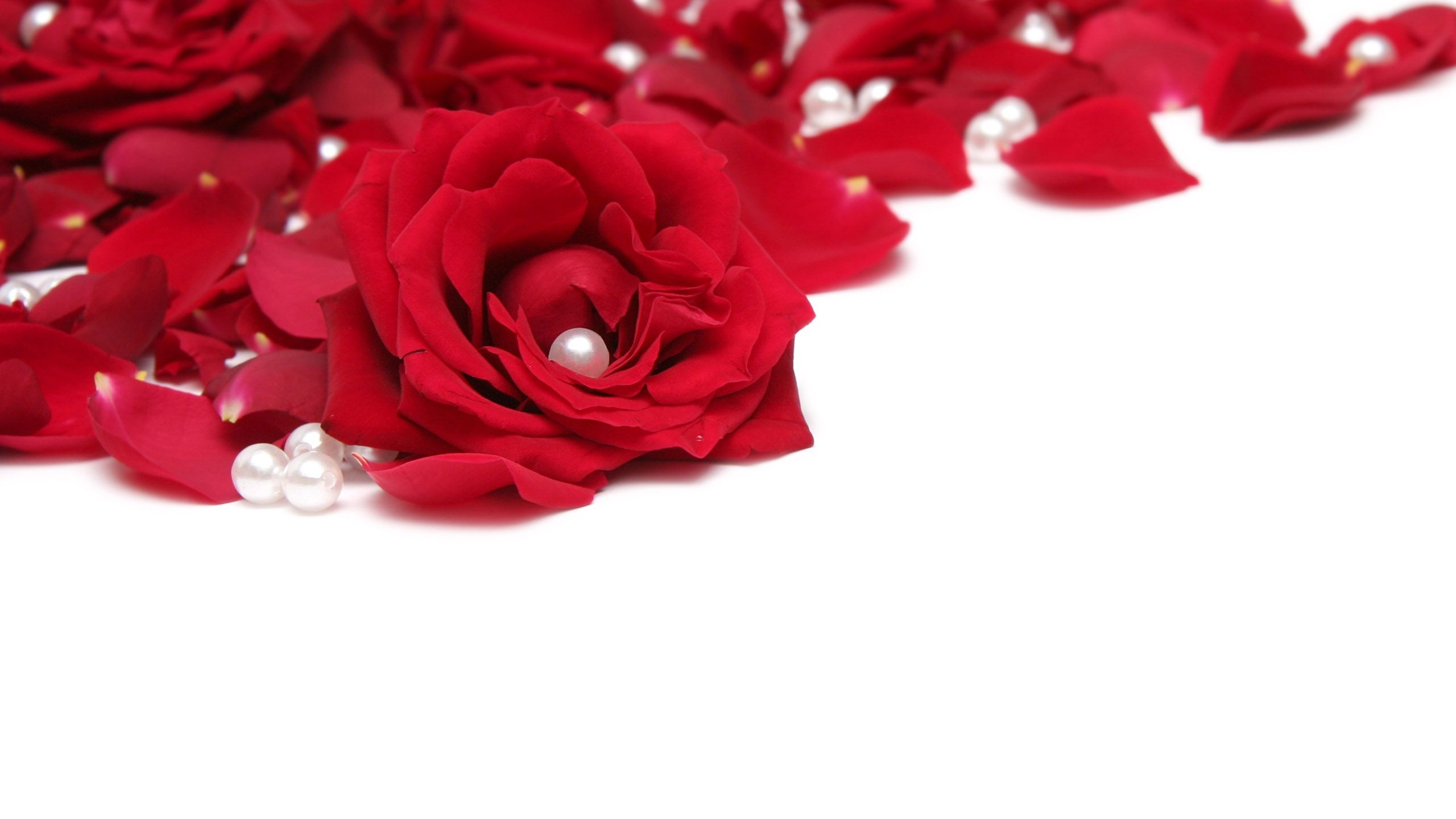 Red rose petals wallpaper  PC en