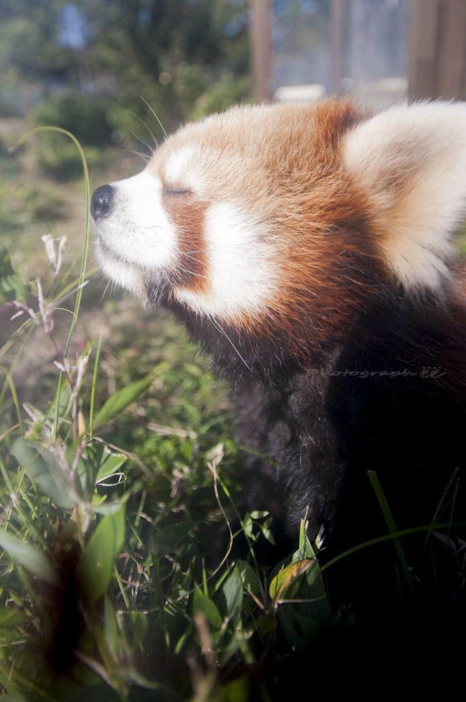 Pin Auf Red Panda