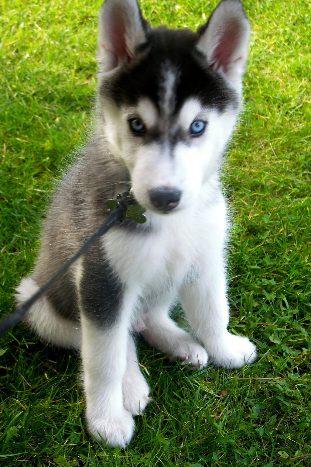 Akc Siberian Husky Male Puppy Solid Black Blue Eyes Ready Now