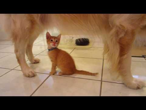 619 Funny Foster Kittens Trying To Nurse From Male Dog No Milk There 6 Weeks Old Youtube Foster Kittens Kittens Dogs
