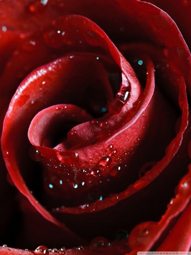 beautiful roses wallpapers for mobile - floral delivery | android