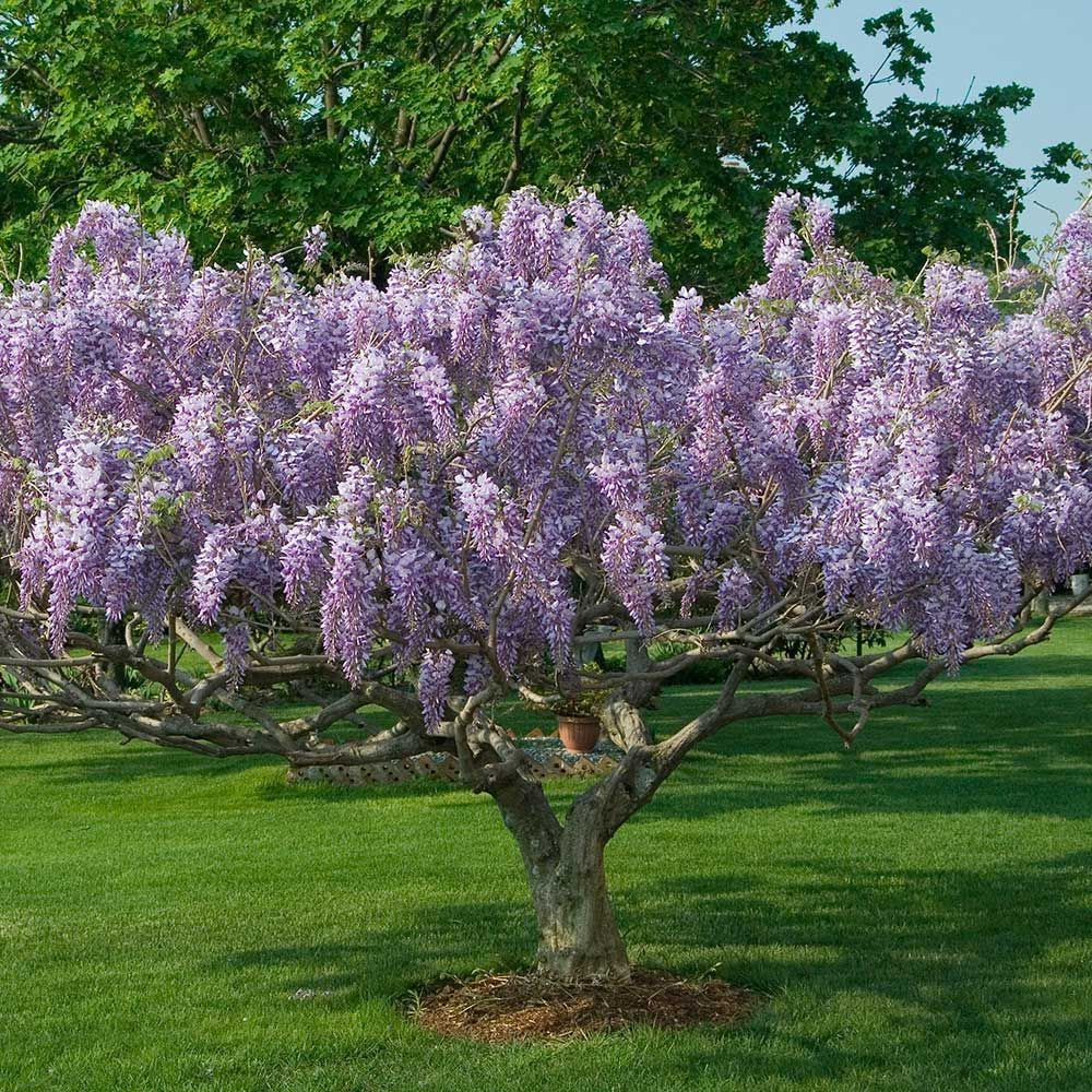 Wisteria Floribunda Issai Tree Form White Flower Farm Wisteria Tree Wisteria