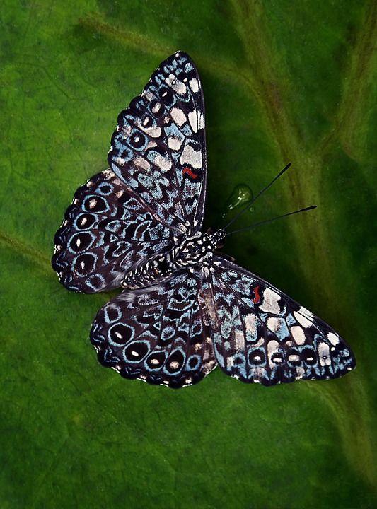 kostenloses bild auf pixabay  schmetterling insekten