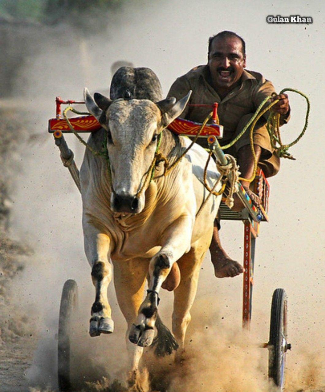 PAKISTAN, Bull Cart racing in rural areas of Punjab