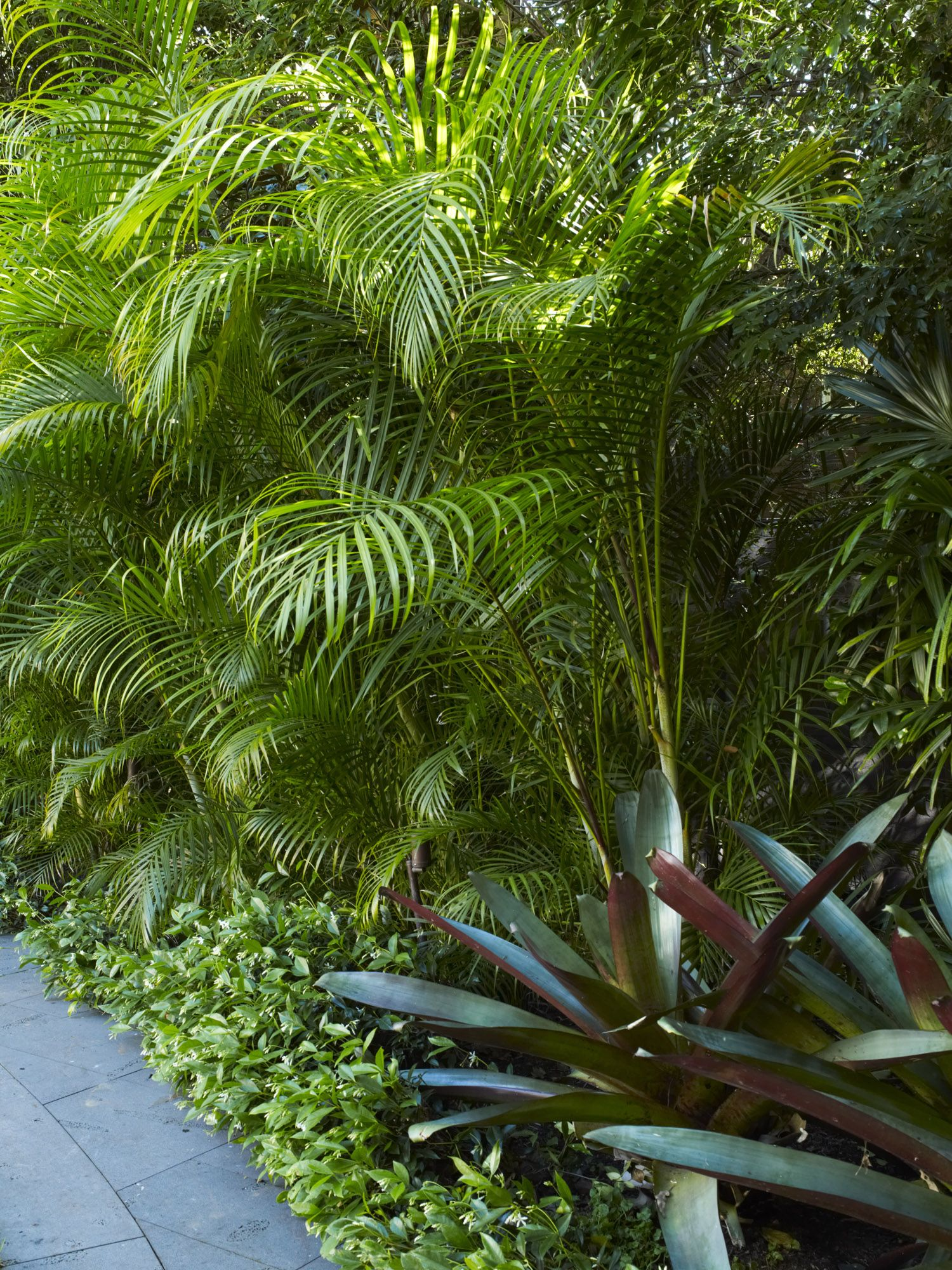 Dypsis Lutescens Useful Tropical Plants Dypsis Lutescens With King Bromeliads Rose Bay 1