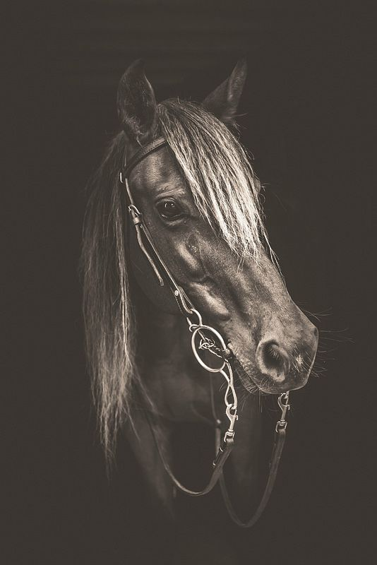 rocky mountain horse mare | Flickr - Photo Sharing!