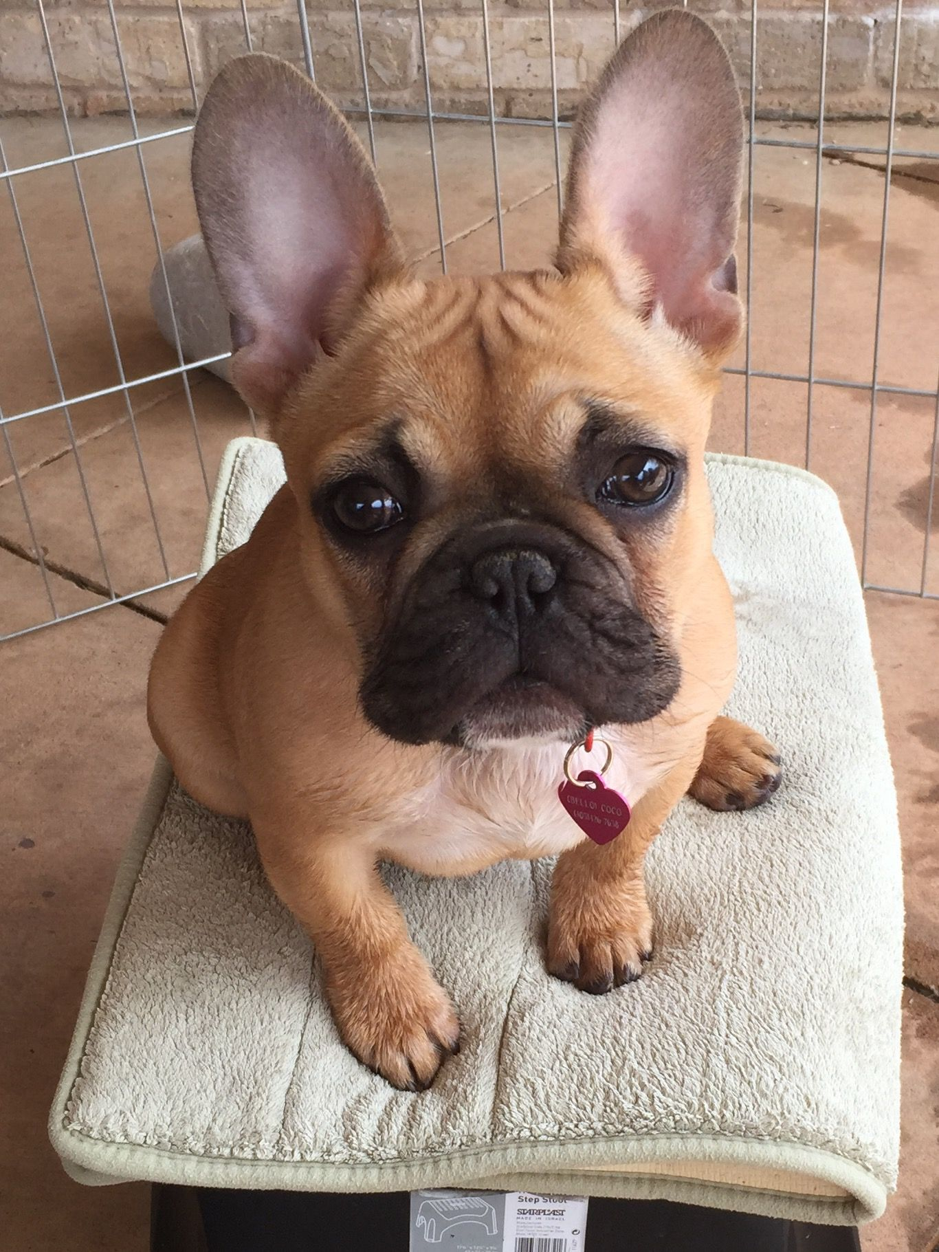 French Bulldog Puppy what a cutie Frenchie Pinterest