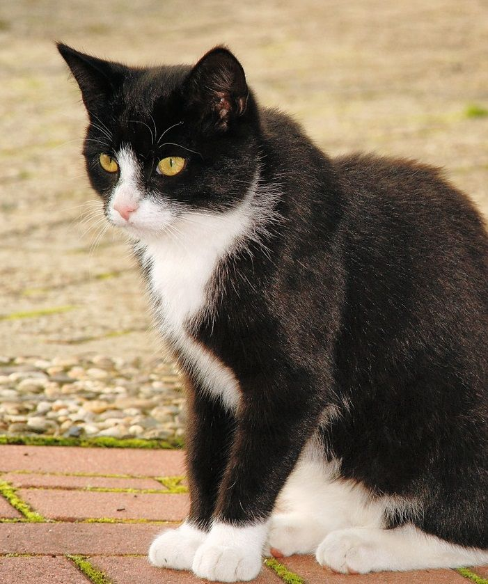 Tuxedo Cat Names CatNames Chats adorables, Chat, Chaton
