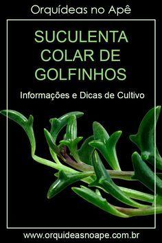 Informações e dicas de cultivo da suculenta colar de golfinhos, Senecio peregrinus. #suculentas #senecio #orquideasnoape