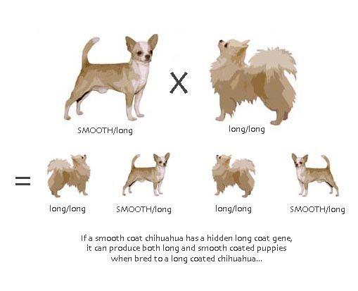 Coat Genetics Chihuahua Dog Mixes Chihuahua Dogs