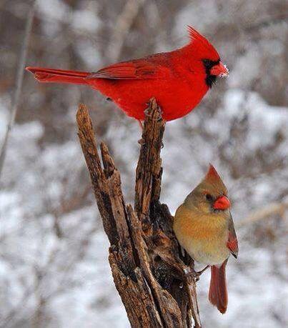 Male And Female Cardinals Cardinal Birds Birds Animals