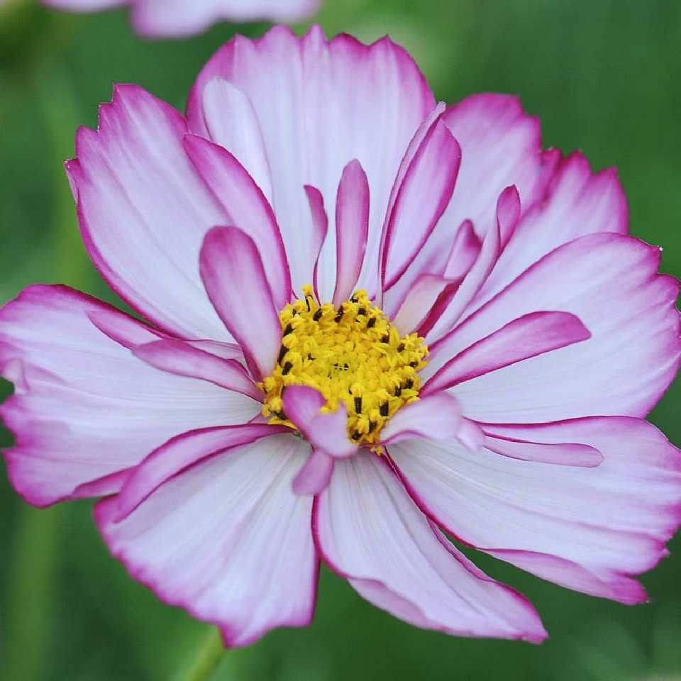 Pin By Putri Hauna Mareti On Flowers With Images Cosmos Flowers Flower Garden Plants Flower Seeds
