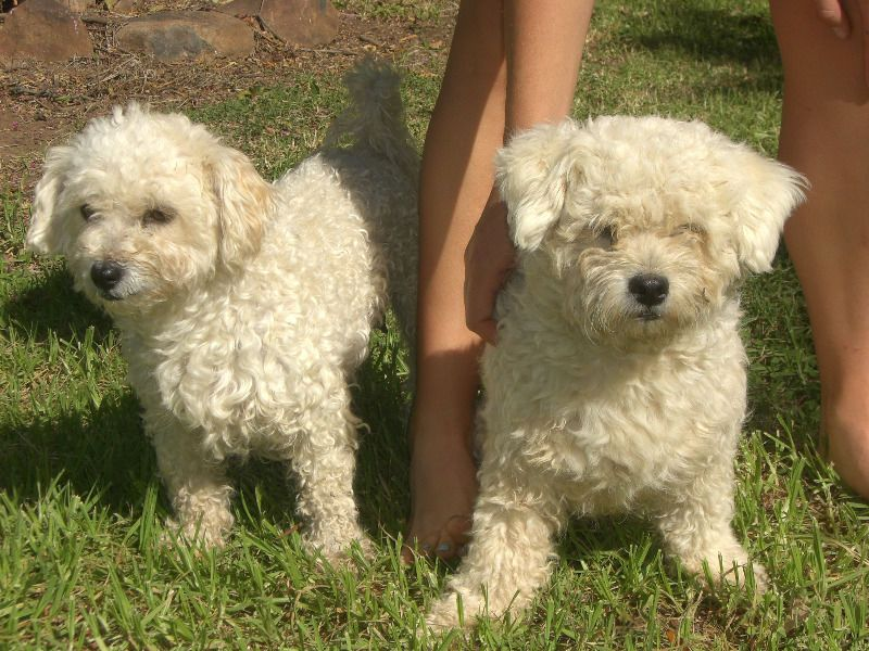 Opregte Maltese Poodles Graaff Reinet Gumtree South Africa 142416509 Maltese Poodle Dogs And Puppies Gumtree South Africa