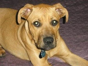 Tan Pitbull Boxer Mix Pitbull Boxer Mix Labrador Dog Pictures