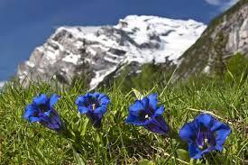 enzian flower