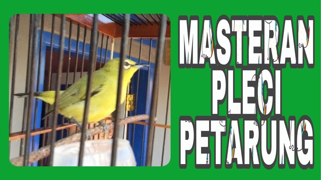 Masteran Pleci Full Isian Cocok Untuk Melatih Mental Burung Petarung Di 2020 Burung Cocok Latihan