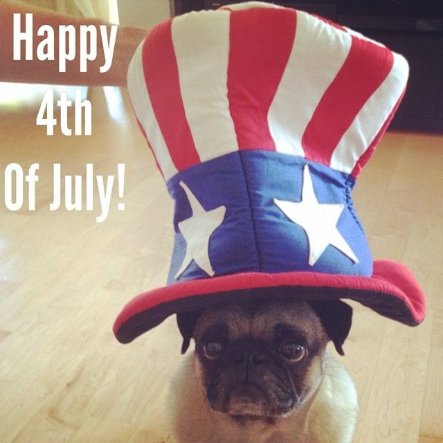 The Calm Before The Crazy Sadly Henry Does Not Enjoy The Fourth Of July Pugs Pug Rescue Doggy