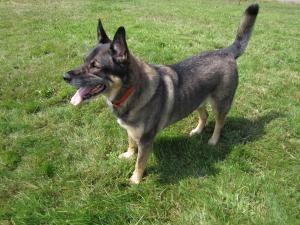 Adopt Gauge Adopted On German Shepherd Dogs Family Pet Shepherd Dog