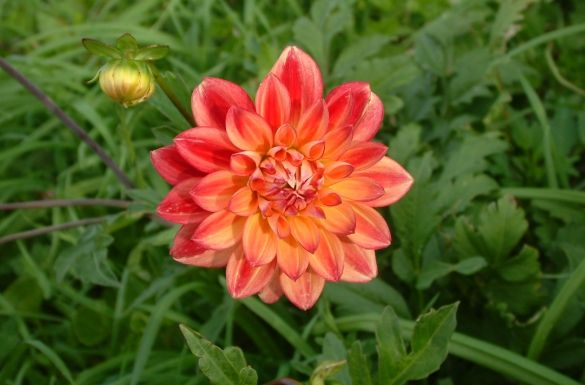 Orange Dahlia Flowers Pink Orange Dahlia Flower Essence Estrogen Balance Dahlia Dahlia Flower Flower Essences