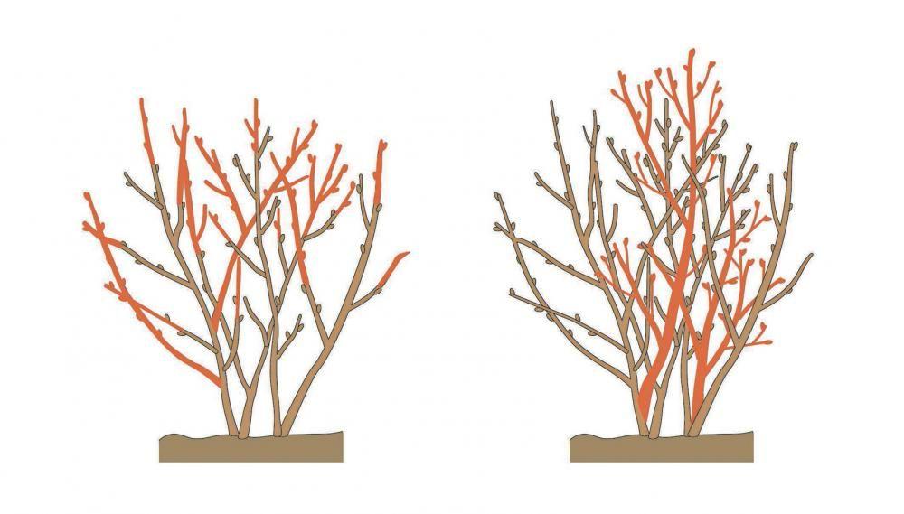 johannisbeeren richtig schneiden obstgarten pinterest garten johannisbeere schneiden und. Black Bedroom Furniture Sets. Home Design Ideas