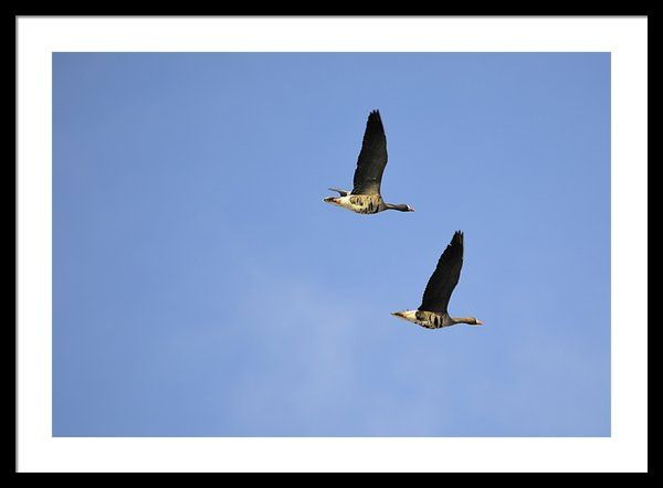 Greater White-fronted Geese Framed Print By Bonfire #Photography