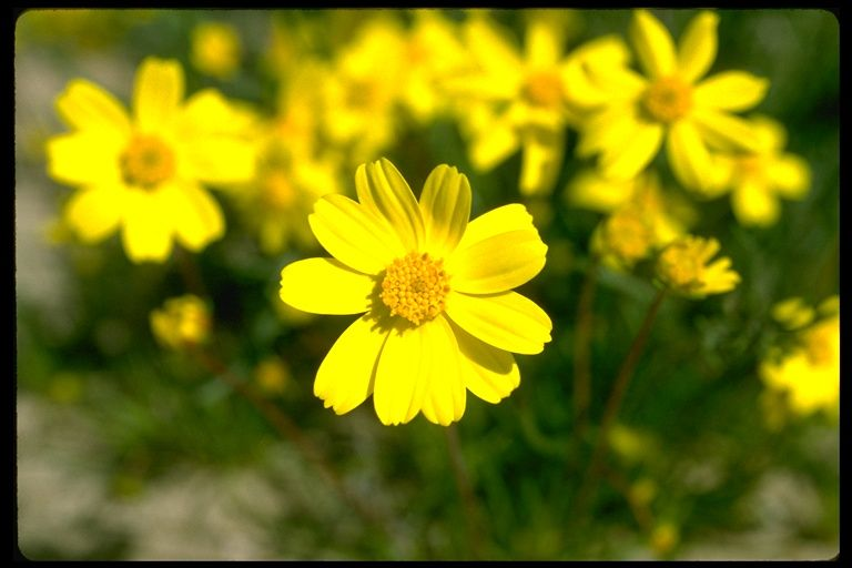 Coreopsis bigelovii - Bigelow's Coreopsis CA Wildflower