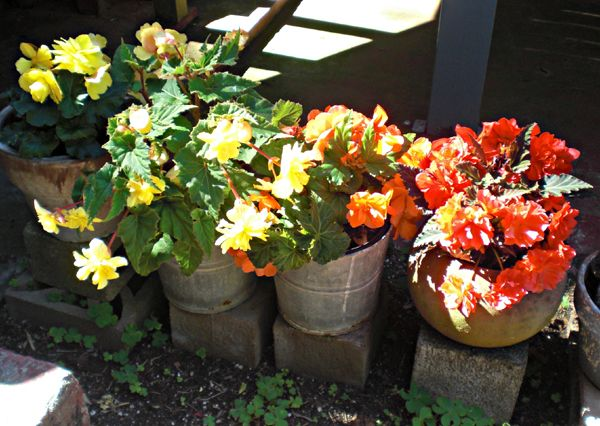 Under the deck.  Begonias