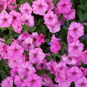Petunia Supertunia Vista Bubblegum Buy Petunia Annuals Online Petunias Petunia Plant Annual Plants