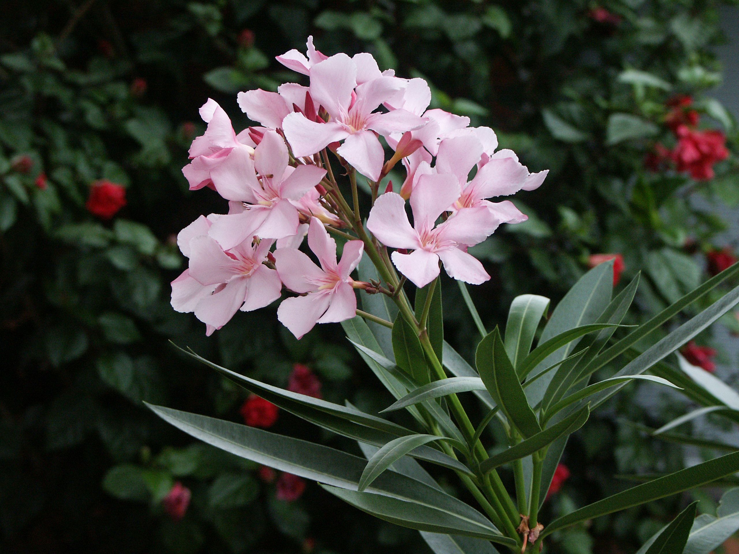 Oleander bushes poisonous dogs