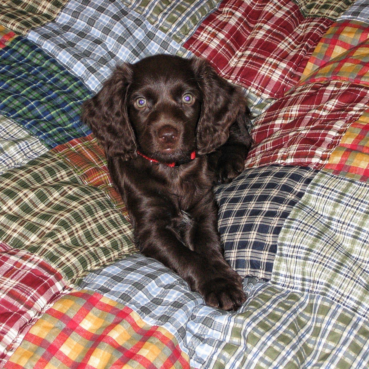 Sweet Boykin Spaniels Boykin Spaniel Puppies Boykin Spaniel Spaniel Puppies
