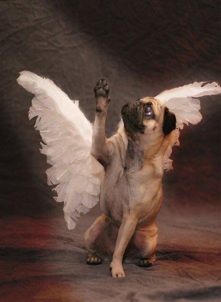 All Dogs Go To Heaven Pug Memes Pugs