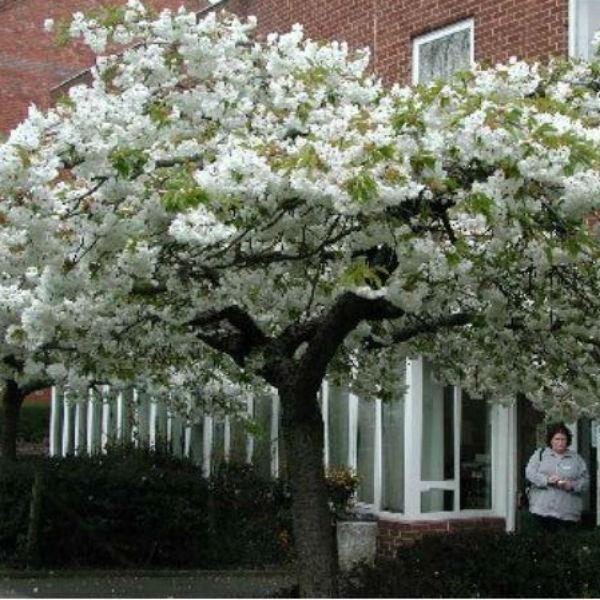 Prunus Shirotae White Cherry Blossom Johnstown Garden Centre Ireland Cottage Garden Plants Family Garden Johnstown Garden Centre