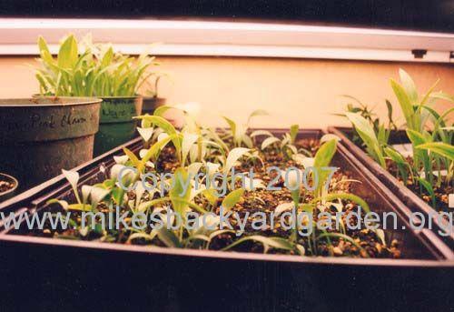 Lily Propagation - bulblets, bulbils, scaling