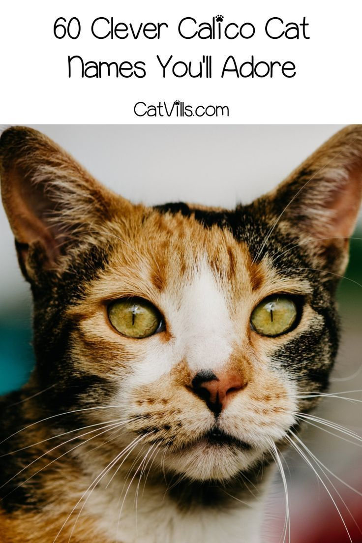 60 Clever Calico Cat Names You'll Adore Calico cat names