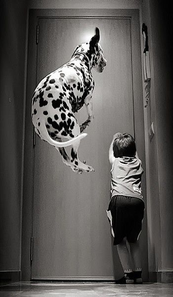 Cool Dalmation Chubby Adorable Dog - 4c92a5ec87457be9e0fd19ac175f9c18  Picture_386739  .jpg