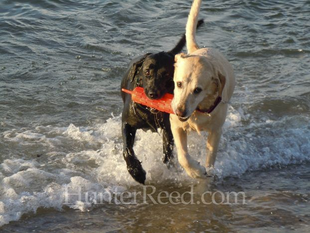 Gilligan A Black American Labrador Retriever And Barclay A Yellow American Labrador Retriever From Nantucket Massach Working Dogs Best Dogs