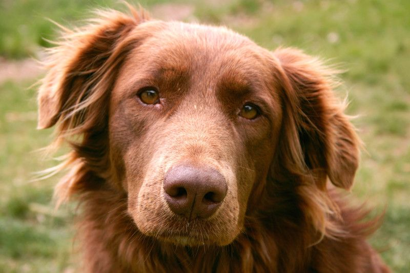 Therapy Dogs Emphasize The Animal Human Bond Golden Retriever Therapy Dogs Golden Retriever Lab Mix