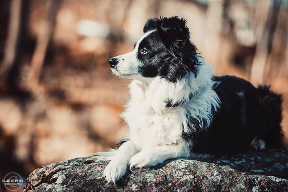 Pin By Stig Hedberg On Human S Best Friend Border Collie Bordercollie