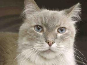 Edgar Is An Adoptable Ragdoll Cat In Chicago Ridge Il Please Note My Location I Am Currently Available For Adoption At Pets Pet Finder Cats Pets