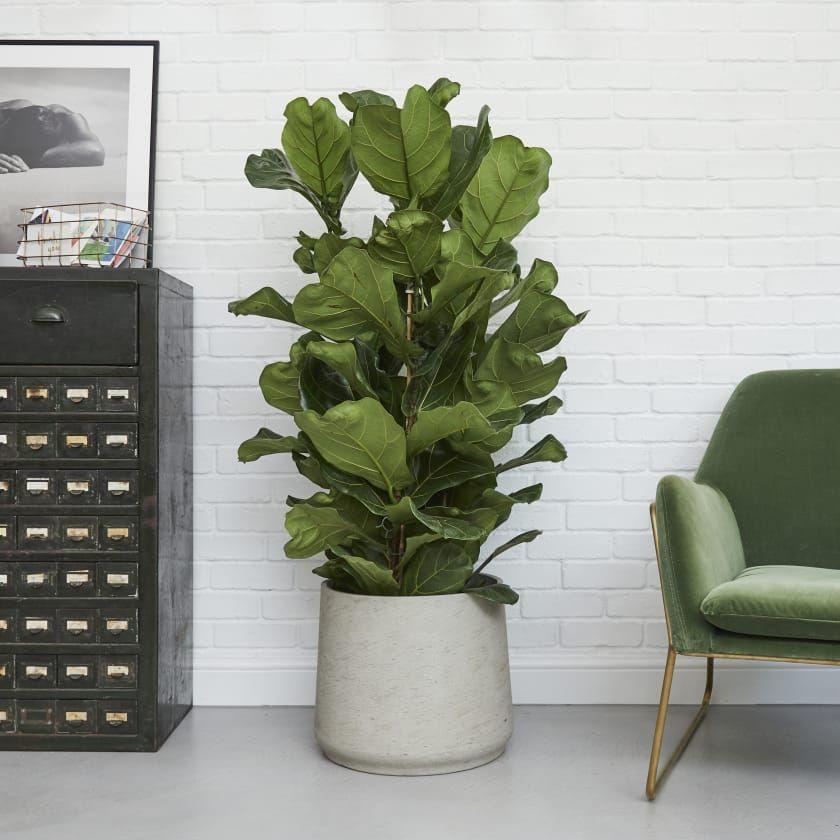 Ficus Lyrata — Plants Patch Plants, Fig plant, Indoor