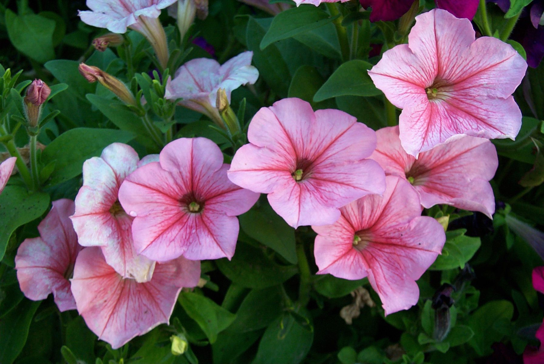 petunia flowers posted in flower tags common garden petunia garden petunia - Common Garden Flowers