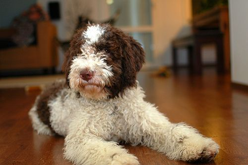 Lagotto Romagnolo Roope Dog Breeds Lagotto Romagnolo Dogs