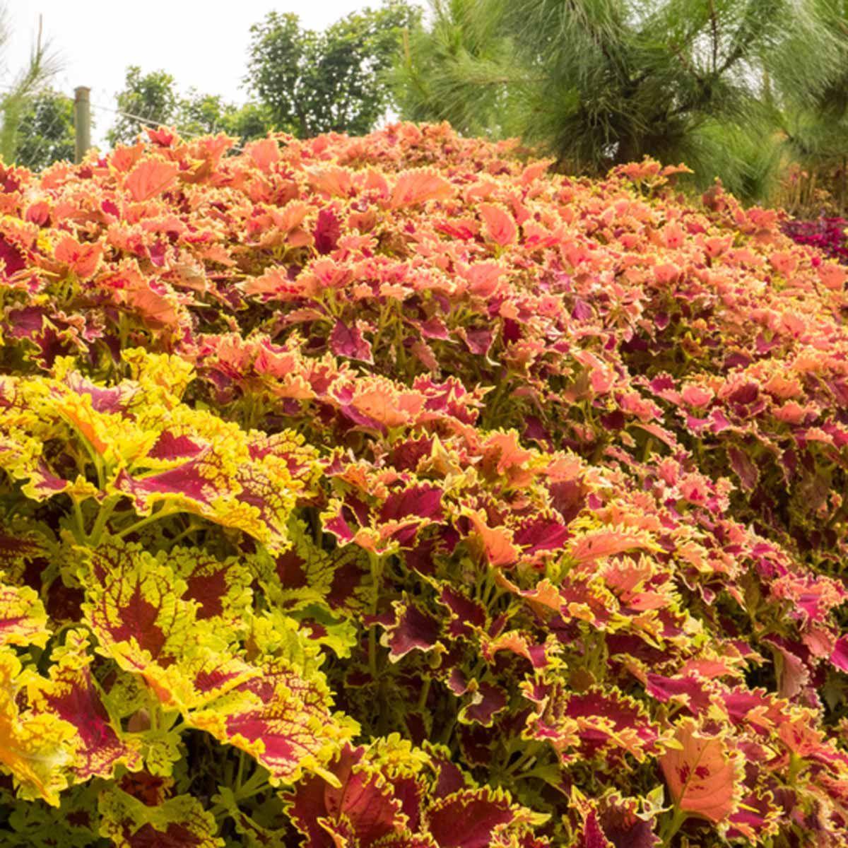 Crazy About Coleus Plants, Landscape, Foliage plants