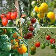 """Résultat de recherche d'images pour """"espèces tomates ..."""