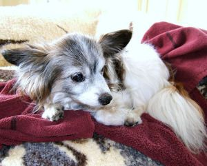 CeCe is an adoptable Papillon Dog in Seattle, WA. My name is CeCe and I'm a Papillon who weighs almost 7 pounds and I'm looking for a new home.My owner had to give me up for adoption because she had t...