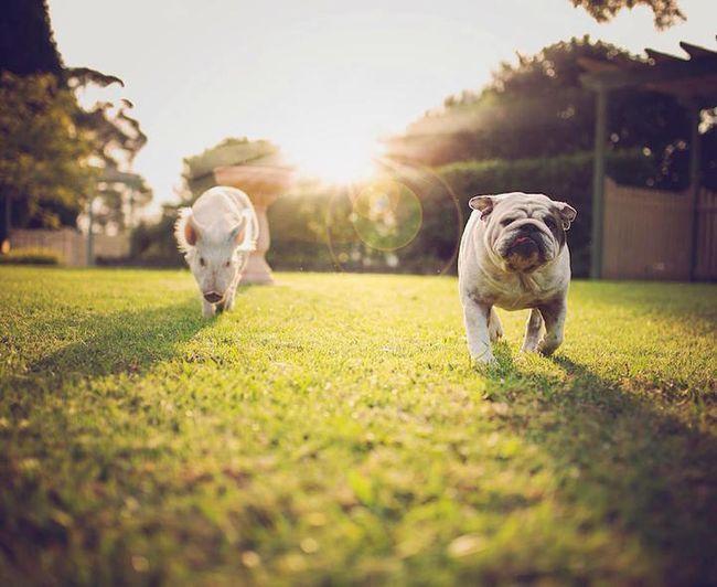 Милая свинка Олив выросшая с собаками Животные Animals - Adorable pig whos grown up with dogs believes shes a puppy too
